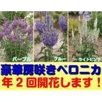 房咲き ベロニカ エクスプロージョン 1株 耐寒性宿根草