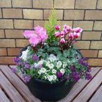 冬の玄関を飾る寄せ植えPart1 高規格シクラメンを使用した冬の鉢花・完成品 玄関先にドカンと飾ってください。初夏まで楽しめますよ! *送料無料・他品同梱不可
