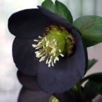クリスマスローズ ブラックパール 一重咲き・小輪 蕾が開き始めました! 角鉢 M&Bフローラのメリクロン苗 花苗 ガーデニング 寄せ植え