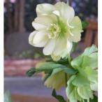 八重咲き・中輪 クリスマスローズ  プレムアムコレクション  アンジェリエ 9cmポット2016年秋の新苗