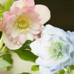 クリスマスローズダブル 花 苗 八重咲きピンク&ホワイトの2株セット 開花予定株 2年生9cmポット苗  花郷園
