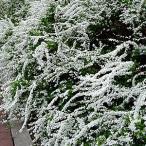 ユキヤナギ 3種の葉色で選べます 13.5cmポット苗 落葉低木 家庭樹 切り花 生け花 シンボルツリーに