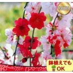 花桃 ハナモモ 苗木 家庭樹 落葉高木 源平しだれ桃 咲き分け 4.5号 直径13.5cmポット