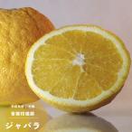 2016年新苗・果樹苗 常緑低木 柑橘系 ジャバラ 4.5号(直径13.5cm)ポット