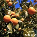 果樹苗 常緑低木 柑橘系 種なしきんかん ぷちまる 接ぎ木1年生 13.5cm(4.5号)ロングポット