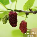 マルベリー 果樹 苗木 クワ 桑の実 4.5号 13.5cm ポット苗 鉢植え ベランダ