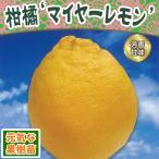 2016年新苗・果樹苗 柑橘 マイヤーレモン 4.5号(直径13.5cm)ポット