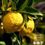 2017年新苗・果樹苗 常緑低木 柑橘系  大実ゆず(本ゆず) 4.5号(直径13・5cm)ポット