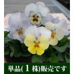 パンジー ユニーク系 クリスタルマーメイド 10.5cmサイズ大ポット 1ポット  パンジー ビオラ すみれ 苗 寄せ植え