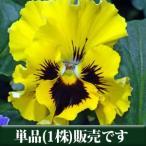 パンジー フリル咲き フリズルシズル イエロー 10.5cmサイズ大ポット 1ポット  パンジー ビオラ すみれ 苗 寄せ植え