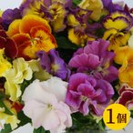 復活した伝説の八重咲きパンジー ファビュラス 10.5cmサイズ大ポット 1個 パンジー ビオラ すみれ 苗 寄せ植え