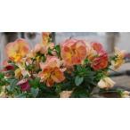 パンジービオラ 復活した伝説の八重咲きパンジー ファビュラス 1株 開花確認株・色系統選べます
