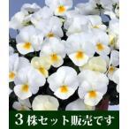 よく咲くスミレ ミルクセーキ 10.5cmサイズ大ポット 3ポットセット (サカタのタネ) ホルモン剤不使用栽培品 パンジー ビオラ すみれ 苗