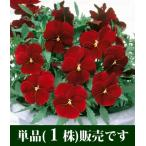 よく咲くスミレ クランベリー 10.5cmサイズ大ポット 1ポット  パンジー ビオラ すみれ 苗 寄せ植え