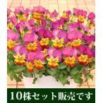 ビオラ あいちゃん ポット苗 10個セット ・ 送料無料・他品同梱可 パンジー ビオラ すみれ 苗 寄せ植え
