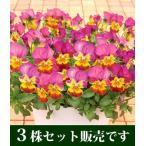 ビオラ あいちゃん ポット苗 3個セット パンジー ビオラ すみれ 苗 寄せ植え