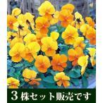 ビオラ ビビ クリアオレンジ 10.5cmサイズ大ポット 3ポットセット パンジー ビオラ すみれ 苗 寄せ植え