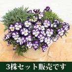 パンジー  虹色スミレ  ノーブル  10.5cmサイズ大ポット  3個セット   パンジー ビオラ すみれ 苗 寄せ植え