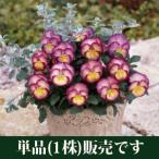パンジー 虹色スミレ エンジェルピンク 10.5cmサイズ大ポット 1個 パンジー ビオラ すみれ 苗 寄せ植え