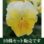 パンジービオラ フリル咲きパンジー フリズルシズル「レモネード」 10株セット