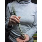 花も咲きます・観葉多肉グリーン エアプランツ(エアープランツ) ジュンセア Juncea 規格:安心のLサイズ(全長目安30cm程度)