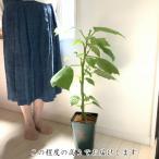 ベゴニア 木立性 花 苗 1個 観葉植物 おしゃれ 育てやすい 青柳 B.Aoyagi そのまま飾れる 花郷園オリジナルロゴ入りプラ鉢植え