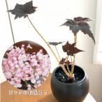 ベゴニア 根茎性 花 鉢植え 1個 黒鷲 B.Kurowashi 春 そのまま飾れる 陶器 観葉植物 おしゃれ 育てやすい