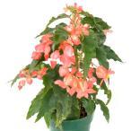 木立性ベゴニア 花 鉢植え キャサリンメイヤー 夏 秋 冬 4号鉢 クリスマスの頃にも開花