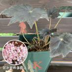 ベゴニア 根茎性 花 鉢植え 1個 黒鷲 B.Kurowashi 春 そのまま飾れる花郷園オリジナルロゴ入りプラ 観葉植物 おしゃれ 育てやすい