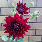 毎年咲くよ 宿根ダリア 黒蝶 直径12cmポット 蕾&開花状態