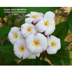 プルメリア ミニホワイト 4号鉢