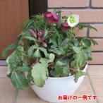 松村園芸さんの BIG8号サイズ クリスマスローズガーデン (クリスマースローズの寄せ植え) 8号鉢