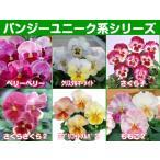 パンジーのタネ 種 ユニークシリーズ 生産用タネ小分け 約20粒  メール便発送OK!