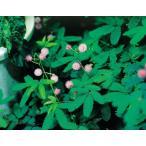種 おじぎ草(オジギソウ)の種 30粒 第4種または一般郵便発送OK