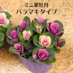処分特価 寄せ植え ミニ 葉牡丹(スプレー/バラマキ ハボタン)10.5cmサイズ 苗