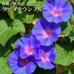 琉球朝顔 宿根アサガオ ケープタウンブルー 緑のカーテン