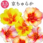 京ちゅらか ポーチュラカ 改良品種 3.5号 花苗