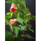 チロリアンランプ アブチロン 春 秋の花