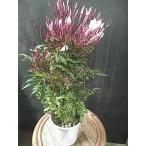 アラビアンジャスミン 芳香性の白い花 常緑性つる性 マツリカ 茉莉花
