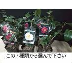 梅 ピンク一重 5号鉢 つぼみ付き 盆栽仕立て