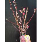 照手桃 花桃 白色 庭木に テルモモ ホウキモモ