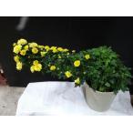 ミントリーフ斑入り 3.5号鉢 アルプスの風 ハーブ 花物語