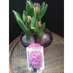 ヒヤシンス 芽出し苗 3号鉢 紫、赤、白、ピンク
