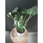 クロトン 4号鉢 室内で観葉植物として、インテリアとして
