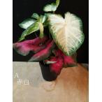 カラジウム 4種 赤白など サトイモ科 半日蔭 室内 観葉植物 シェードガーデン