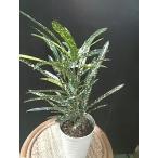 クロトン エクセレントEX 6号鉢 観葉植物 葉の色が黄色赤色オレンジ