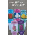 チューリップ 芽出し苗 変わり咲 赤 白 紫 黄 桃 白赤 黄赤 赤白