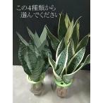 サンセベリア 虎の尾 空気を綺麗にする 観葉植物の定番 5号鉢