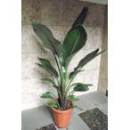 観葉植物 オーガスタ 160cm