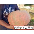 ハロウィン用巨大種かぼちゃ XLサイズ 縦置きかぼちゃ型
